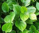daun sirih piper betle 7 Jenis Tanaman yang Bisa Digunakan Sebagai  Deodoran Alami